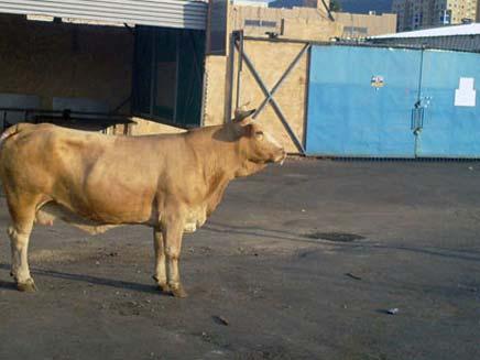 פרה נגועה בכלבת אותרה בגולן, ארכיון (צילום: קובי בן-חיים)