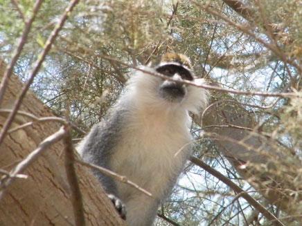 הקוף השובב, אתמול בקיבוץ נירים (צילום: אלון קניאס)