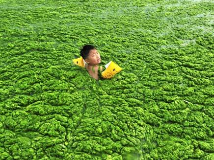 ים של אצות בסין (צילום: רויטרס)