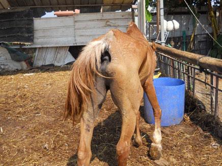 הזנחה של סוסים (צילום: חדשות 2)