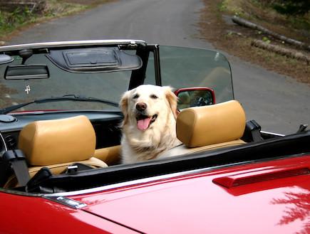 כלב בנסיעה (צילום: sxc.hu)