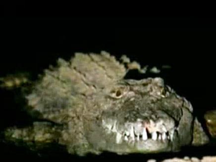 המרדף אחרי התנינים נמשך (צילום: חדשות 2)