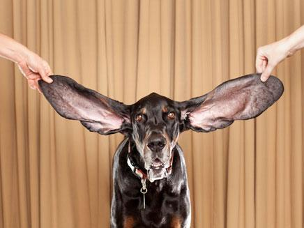 הכלב עם האוזניים הגדולות בעולם (צילום: AP)
