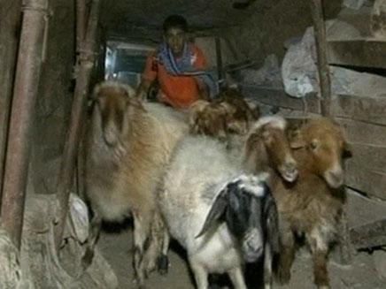 מבריחים כבשים במנהרות (צילום: AP)