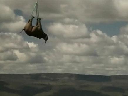 הקרנפים במהלך הטיסה לחיים מאושרים יותר (צילום: חדשות 2)
