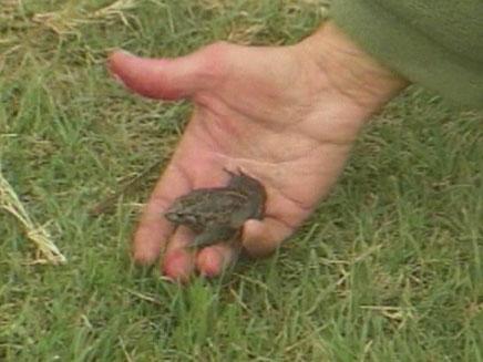 עגולשון שחור גחון - צפרדע שנכחדה התגלתה שוב (צילום: חדשות 2)