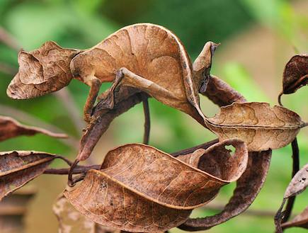 לטאה - חיות בהסוואה (צילום: צילום מסך The Sun)