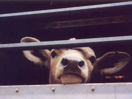 פרה בכלוב (צילום: אנונימוס)
