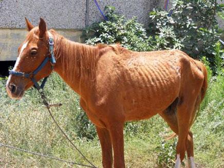 הסוס המורעב במושב שובה (צילום: צביה מילדנברג)