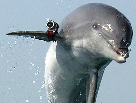 """דולפין בצבא האמריקני (צילום: צבא ארה""""ב, ויקיפדיה)"""