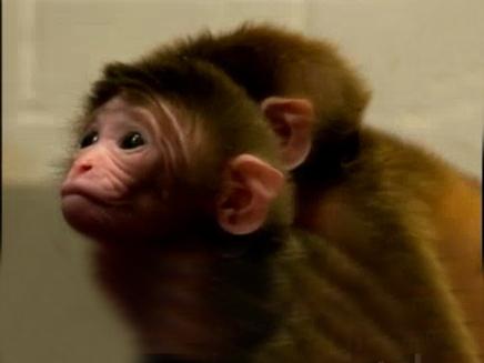 הכירו: הקוף בעל שישה האבות (צילום: חדשות 2)