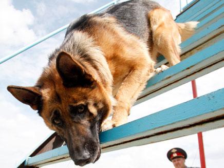 כלב רועה גרמני. ארכיון (צילום: רויטרס)