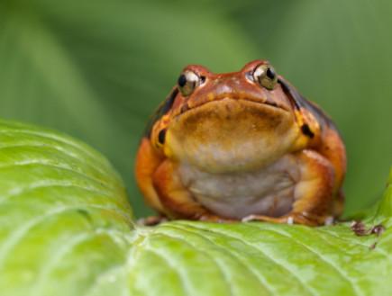 צפרדע עגבניה (צילום: Photoshopped, Istock)