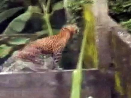 נמר תוקף בהודו (צילום: חדשות 2)