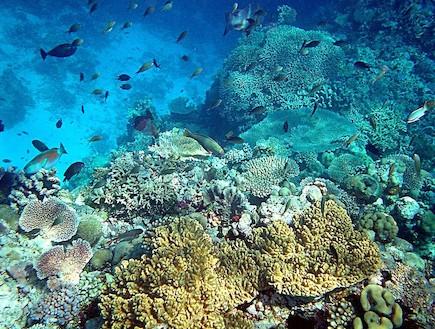 משולש אלמוגים אסיה - מט ליפול (צילום: Mila Zinkova)