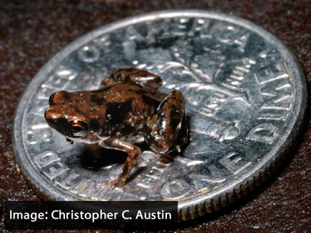 תגלית גדולה - צפרדע קטנה (צילום: כריסטופר סי. אוסטין , Christopher C. Austin)