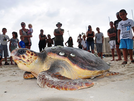 שיא במספר ההטלות של צבות ים ירוקות (צילום: יניב לוי, רשות הטבע והגנים)