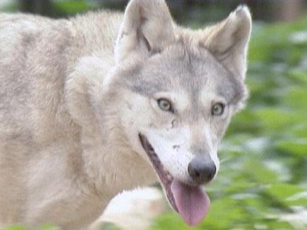 זאב לזאב