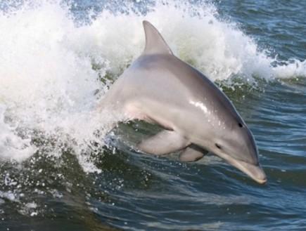 ותודה על הדגים: האם בקרוב נוכל לדבר עם דולפינים? (וידאו WMV: פוטופדיה)