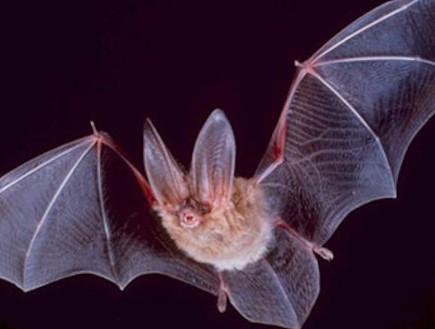 חוקרים: לעטלפים יש מבטא