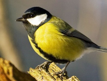 זיהום רעש הופך ציפורים למכוערות (וידאו WMV: ויקיפדיה)