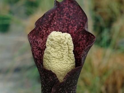 פרח מסריח במיוחד (צילום: nationalgeographic.com)