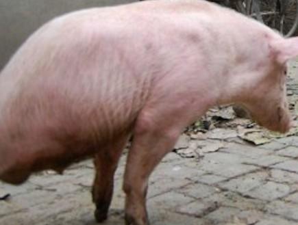 ג'יאן צ'ין: חזירת הפלא שהולכת על 2 (וידאו WMV: dailymail.co.uk)