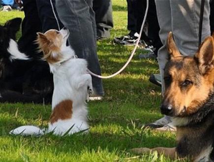 יפן: כלבת צ'יוואווה קטנה התקבלה למשטרה (וידאו WMV: telegraph.co.uk)