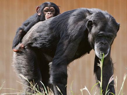 שימפנזות בשבי. ארכיון (צילום: AP)