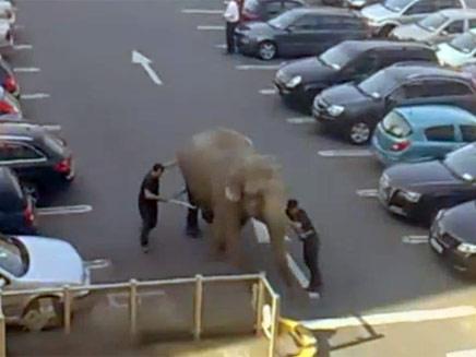 הפיל בייבי מטייל (צילום: חדשות 2)