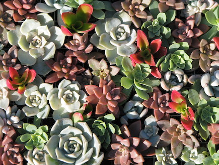 סוקולנטים. צמחים בשרניים (וידאו WMV: living)