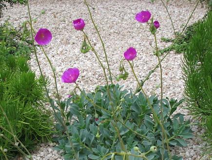 סוקולנטים. קלנדרינייה גדולת פרחים (וידאו WMV: עתר ארזי, living)