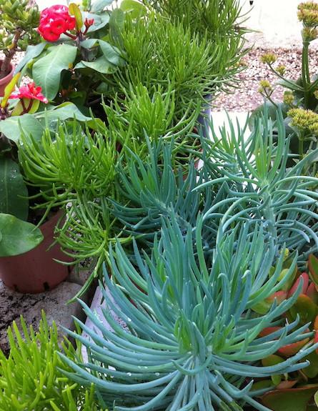 סוקולנטים. צמחי סביון הימליה וסרפנס
