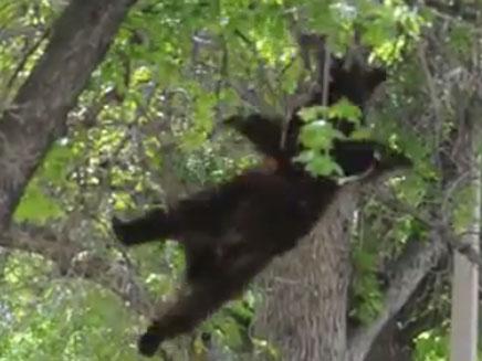 צפו בדוב נוחת אל הקרקע (צילום: חדשות 2)