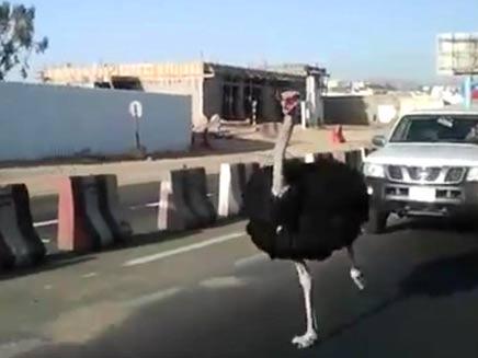 מירוץ היען בסעודיה (צילום: חדשות 2)