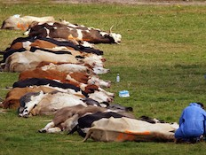 פרות מתות (צילום: Peter Macdiarmid, GettyImages IL)