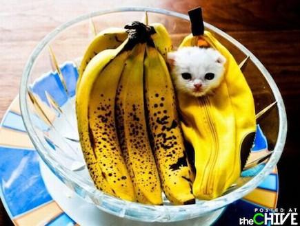 חתול בננה (צילום: thechive.com)