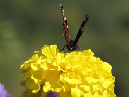 טיול טבע, פרפר על פרח (צילום: חדשות 2)