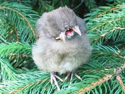 ציפור עם שני ראשים (צילום: dailymail.co.uk)