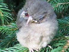ציפור עם שני ראשים