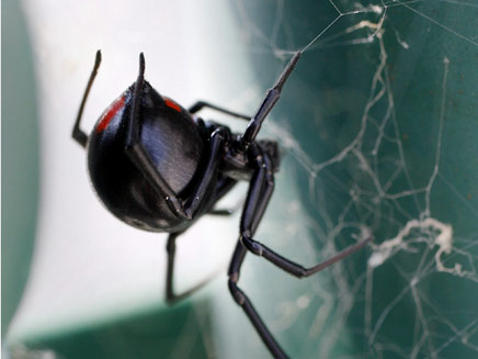 אלמנה שחורה. ארס מסוכן (צילום: AP)
