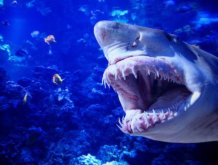 כרישים בעולם כריש2 (צילום: אימג'בנק / Thinkstock)