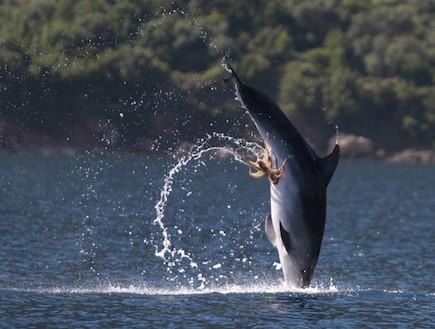 תמנון נצמד לדולפין (צילום: newscientist.com)