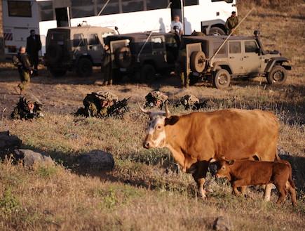 """פרה וחיות אחרות (צילום: במחנה, עיתון """"במחנה"""")"""