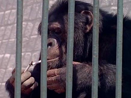 שימפנזה אחרי בן אדם (צילום: חדשות 2)