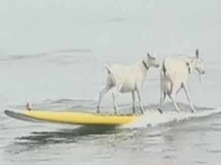 צפו בעזים מרביצות ביצועים בחוף (צילום: חדשות 2)