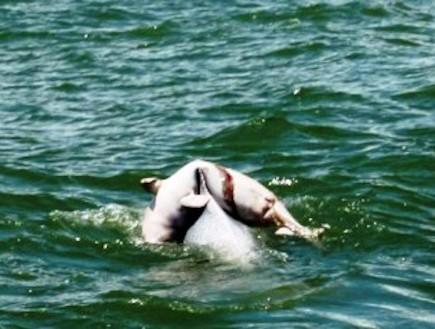 הדולפינה נשאה את בנה המת (צילום: huffingtonpost.com)