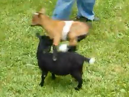 goat on drugs
