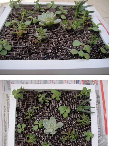 צמחים במסגרת-גינה במסגרת