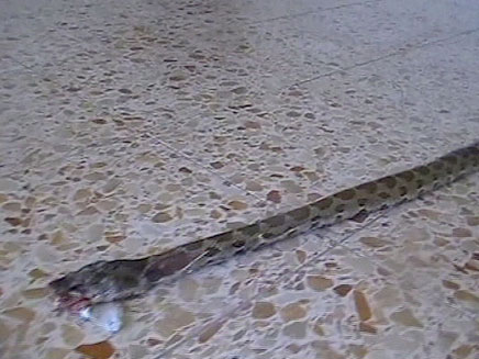 הנחש בביתה של פאדיה (צילום: חדשות 2)